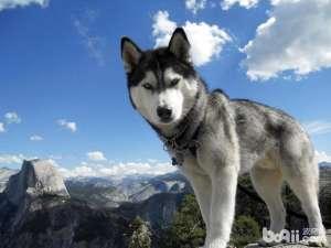 雪纳瑞幼犬的最佳领养(喂养)时期-狗狗品种