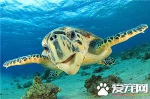 家养乌龟好吗 在家养乌龟有什么好处
